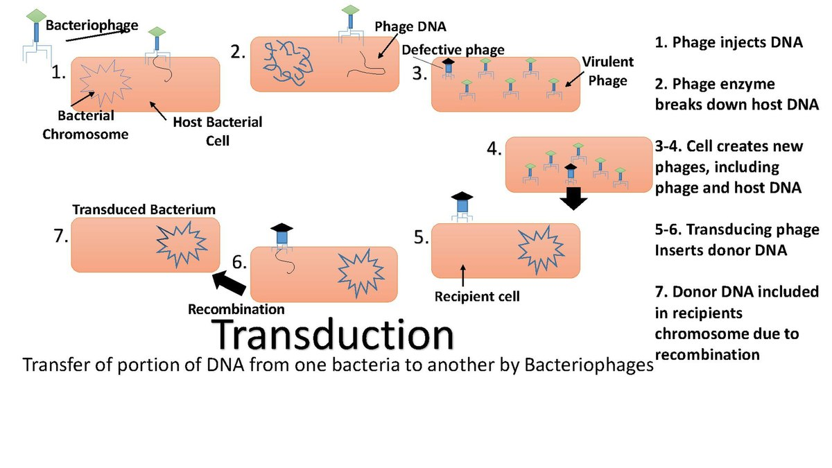 transduction in bacteria pdf